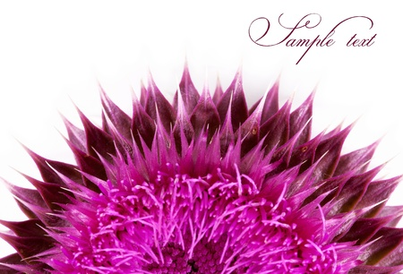 thistle plant: Pink flower close-up isolated on a white background Stock Photo