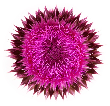 thistle: Pink flower close-up isolated on a white background Stock Photo