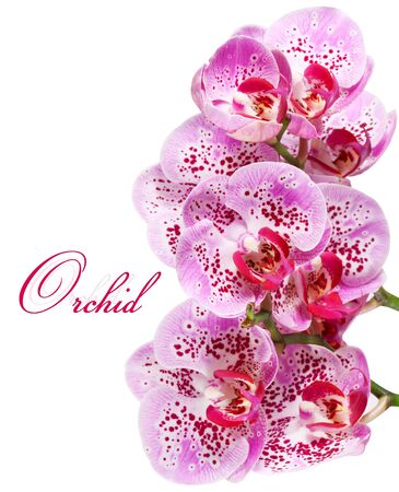 Orchid isolated on a white background photo