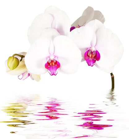 white orchids: postcard  orchids on the water