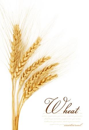 cultivo de trigo: Espigas de trigo aislado en un fondo blanco Foto de archivo