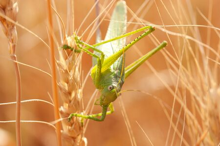 spikelets: Locust sitting on the spikelets of wheat Stock Photo