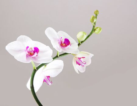 Orchid on a gray background photo