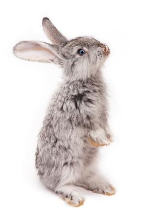 wit konijn: konijn op een witte achtergrond