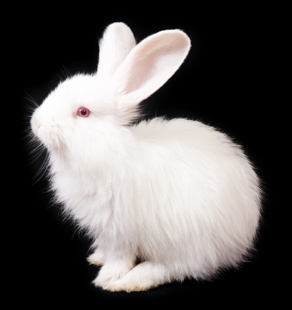 bunny rabbit: White Rabbit on a black background