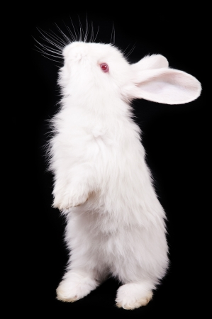 White Rabbit on a black background