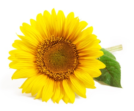 sunflower seeds: Sunflower isolated on a white background