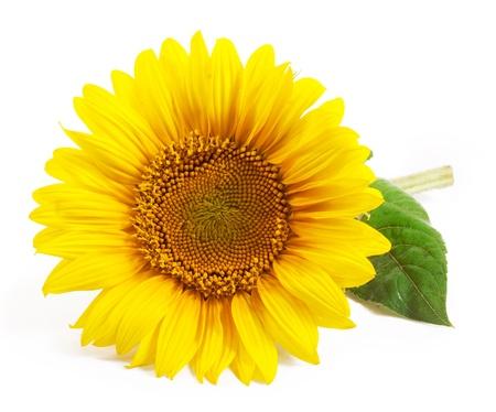 zonnebloem: Zonnebloem geïsoleerd op een witte achtergrond Stockfoto