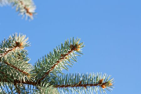 branches of fir-tree photo