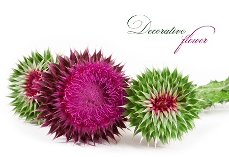 spiny: spiny flower isolated on a white background Stock Photo