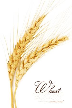 cebada: Espigas de trigo. aislado en un fondo blanco