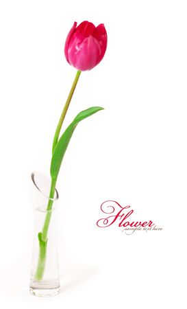 matherday: Beautiful tulips in a vase isolated on white background