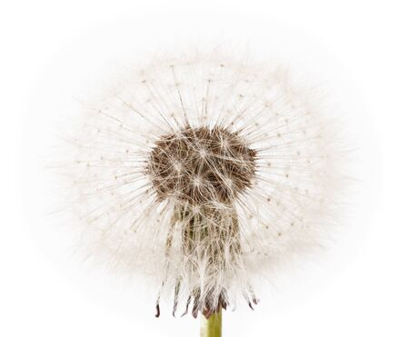 pappus: dandelion isolated on white background Stock Photo