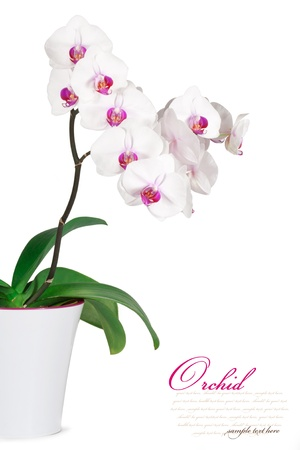 white orchid: Orchid isolated on a white background Stock Photo