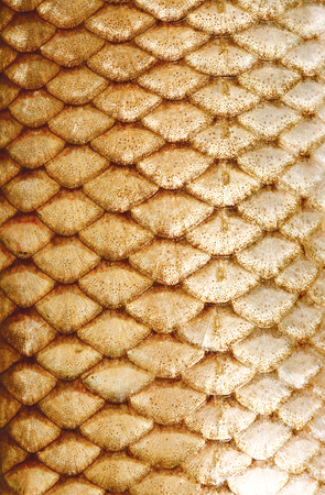 fish scales: texture of fish scales close-up