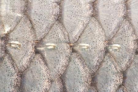 escamas de peces: la textura de escamas de pescado de cerca