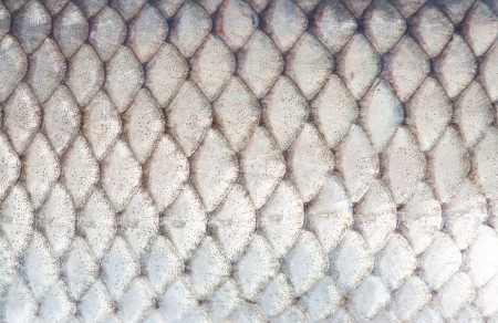 texture of fish scales close-up