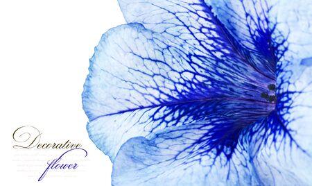 petunia: Beautiful flower close-up