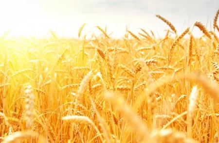 cultivo de trigo: campo de trigo Foto de archivo