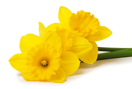 Yellow daffodils isolated on white background Stockfoto