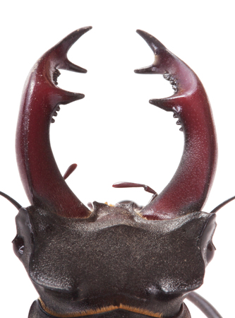 Stag beetle closeup Stock Photo