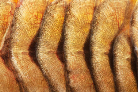 mirror carp: texture of fish scales close-up