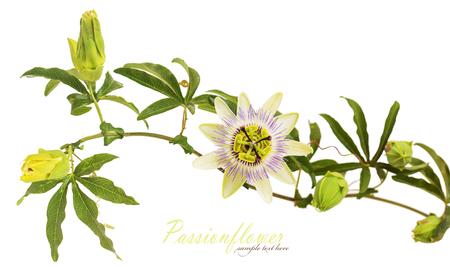 Fleur de la passion. Isolé sur fond blanc Banque d'images