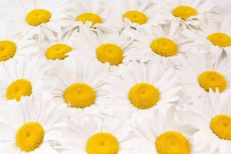 white daisies: Background of white daisies