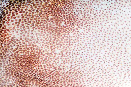 calamares: sepia textura de la piel