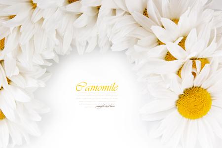 white daisies: Beautiful white daisies