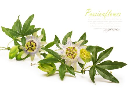herbal: Passionflower. Isolated on white background