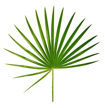 feuille arbre: Palm feuilles Banque d'images