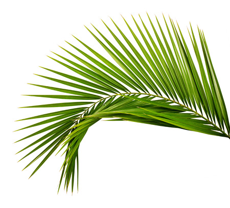 Palm leaf Stock Photo - 62156188