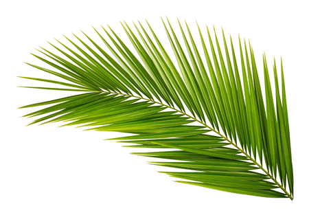 Palm Blatt