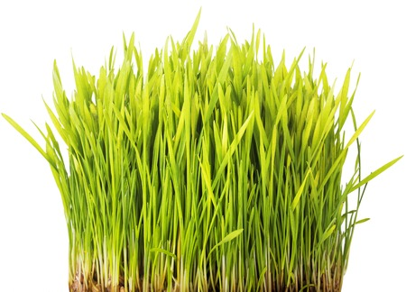 Wheat sprouts isolated on white background Stock Photo