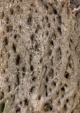 tree detail: seamless texture of the olive tree. high detail and quality.
