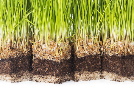 sprouted: Sprouted wheat, root and ground closeup