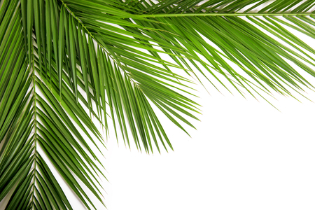 cycad: Palm leaf for your design.Frame of palm leaves. Isolated on white background Stock Photo