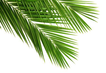 Palmblad voor uw ontwerp. Geïsoleerd op een witte achtergrond Stockfoto