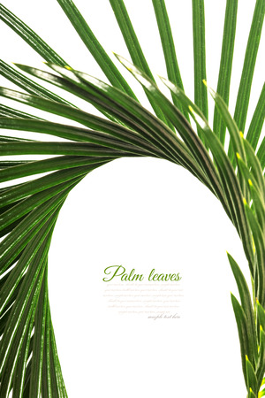 cycad: Palm leaf for your design. Isolated on white background