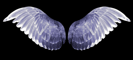 Angel wings isolated on black background. The wings of the pigeon.