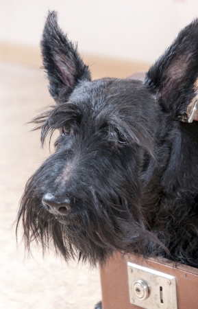 Playful Scottish Terrier in open vintage suitcase photo