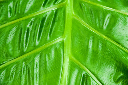 Philodendron Plant Leaf texture photo