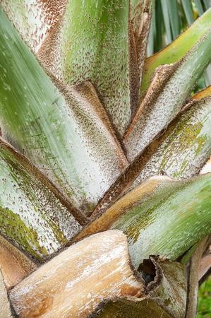 Palm trunk texture photo