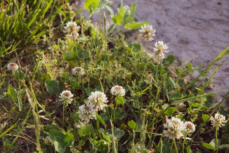 Lush white flowers of clover plant with fresh green leaves background and copy space on defocused grey stone surface. Blooming flowerbed in floral garden