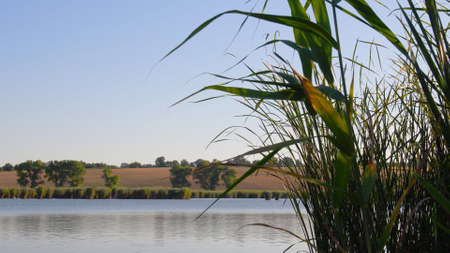 Fall season lake shore with rippled water surface and lush reed leaves shaking in wind on clear sky background. Tranquil autumn landscape with cattails growing by river bank