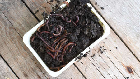 Earthworms crawl and hide in wet black soil inside rectangular box on rustic wooden background with copy space. Closeup of worms as bait for fishing. Composting concept Reklamní fotografie