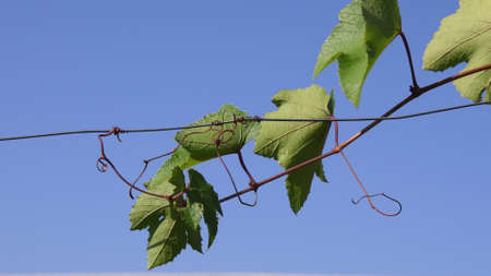 Grape branch with curly tendrils climbing by wire against clear blue sky. Green leaves of grapevine closeup. Organic viticulture growing