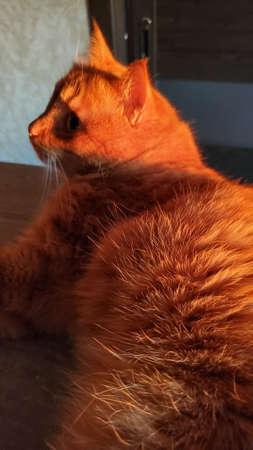 Bright sunlight shine to red tabby cat. Animal fur texture closeup. Furry back of ginger tabby cat. Animal hair fibers closeup Banque d'images