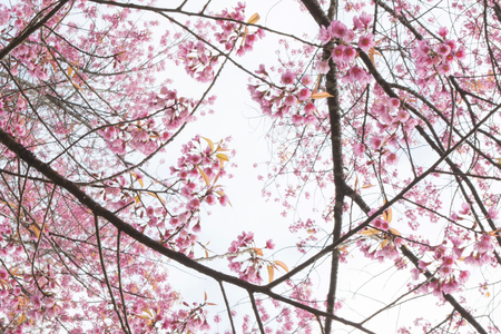 Chiangmai Wild Himalayan Cherry White Background